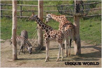 Любопытные жирафы Пражского зоопарка